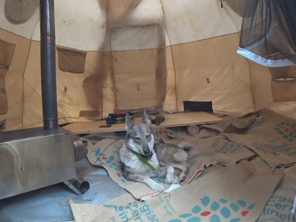 Лайка Пурга в палатке все из за металокопа